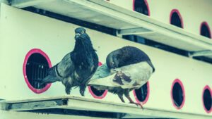 זוג יונים – פגעי יונים בבית משותף